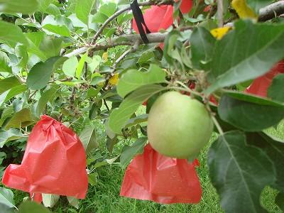 りんごの袋かけ